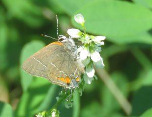 Two Headed Butterfly?