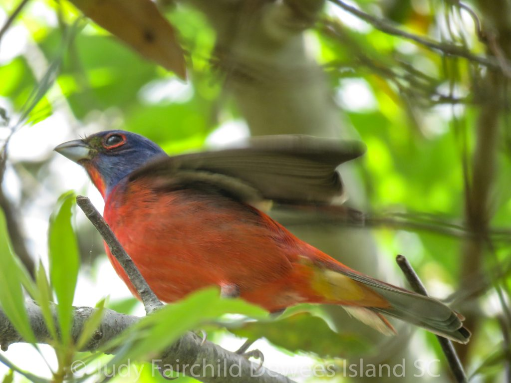 painted bunting wing quiver