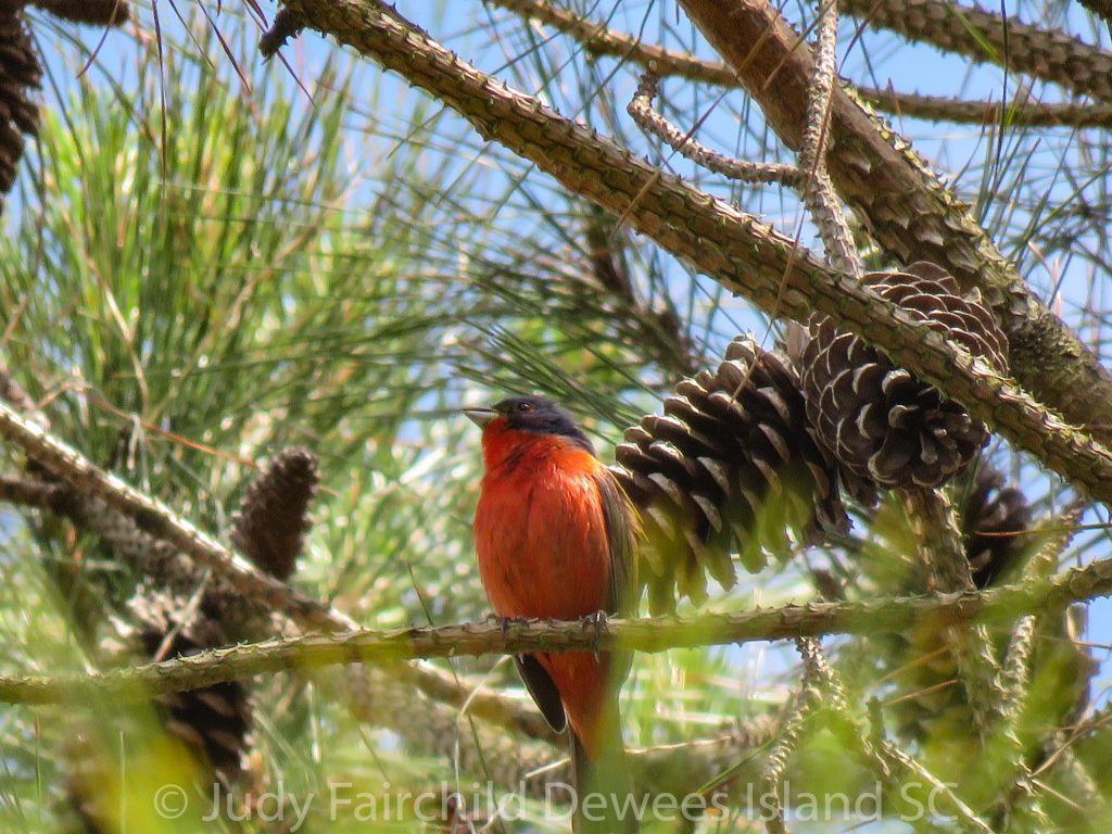 painted bunting in pine