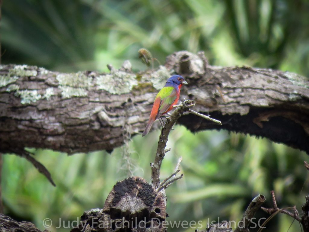painted bunting in forest