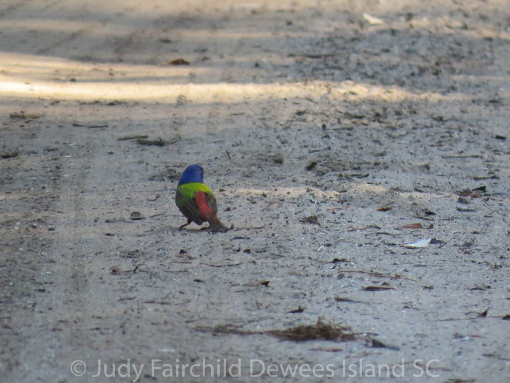 painted bunting in road