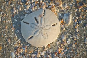 Read more about the article Is my Sand Dollar alive?
