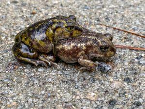 Eastern Spadefoot Toads