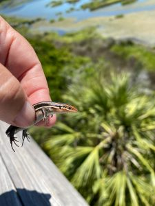 Read more about the article 5 Lined Skink