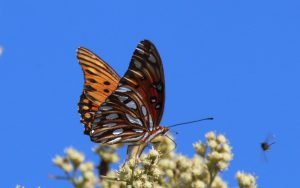 Gulf Fritillary Butterflies and Caterpillars