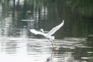 Snowy Egrets use their Feet to Eat