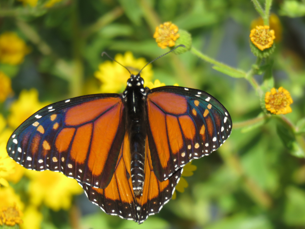 Is this a Monarch? Telling the Orange Butterflies Apart