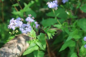 Mistflower is Great for Pollinators: But Predators can Hide there Too!
