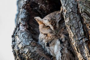 Eastern Screech Owls can Camouflage Completely