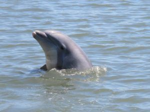Dolphins in the Lowcountry Feed in Unique Ways!