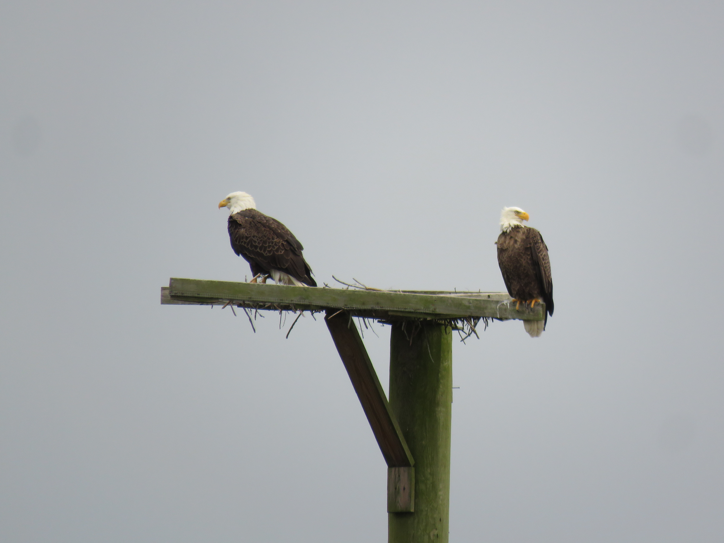 Eagles tag-team eating fish too big to fly with!