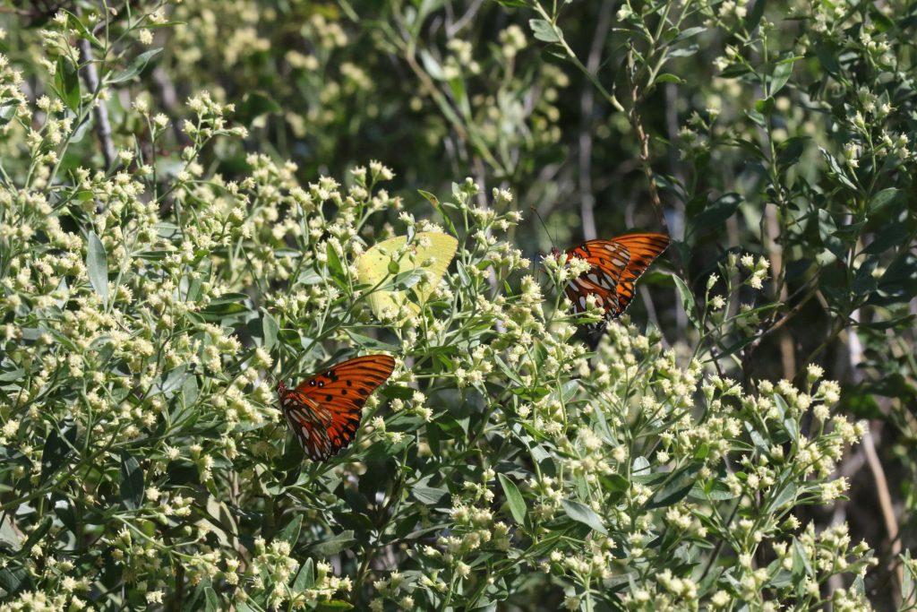 butterflies on groundsel