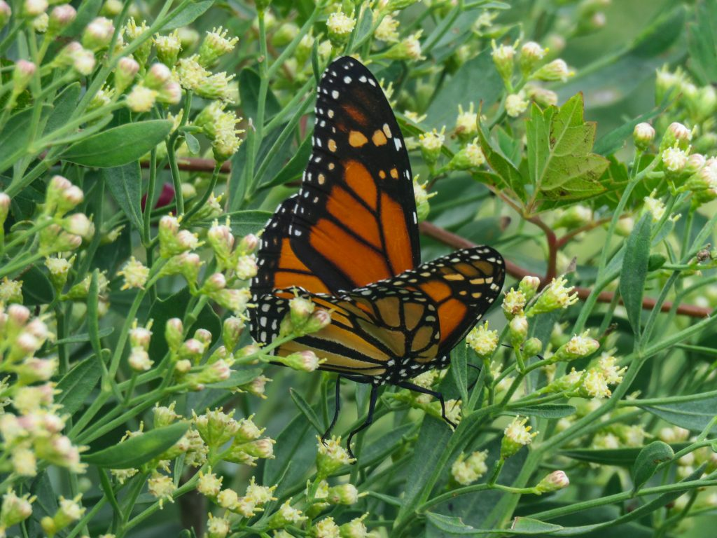monarch in groundsel