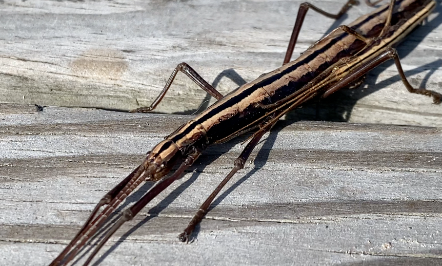 Southern Two Striped Walking Sticks: Bug with a Superpower