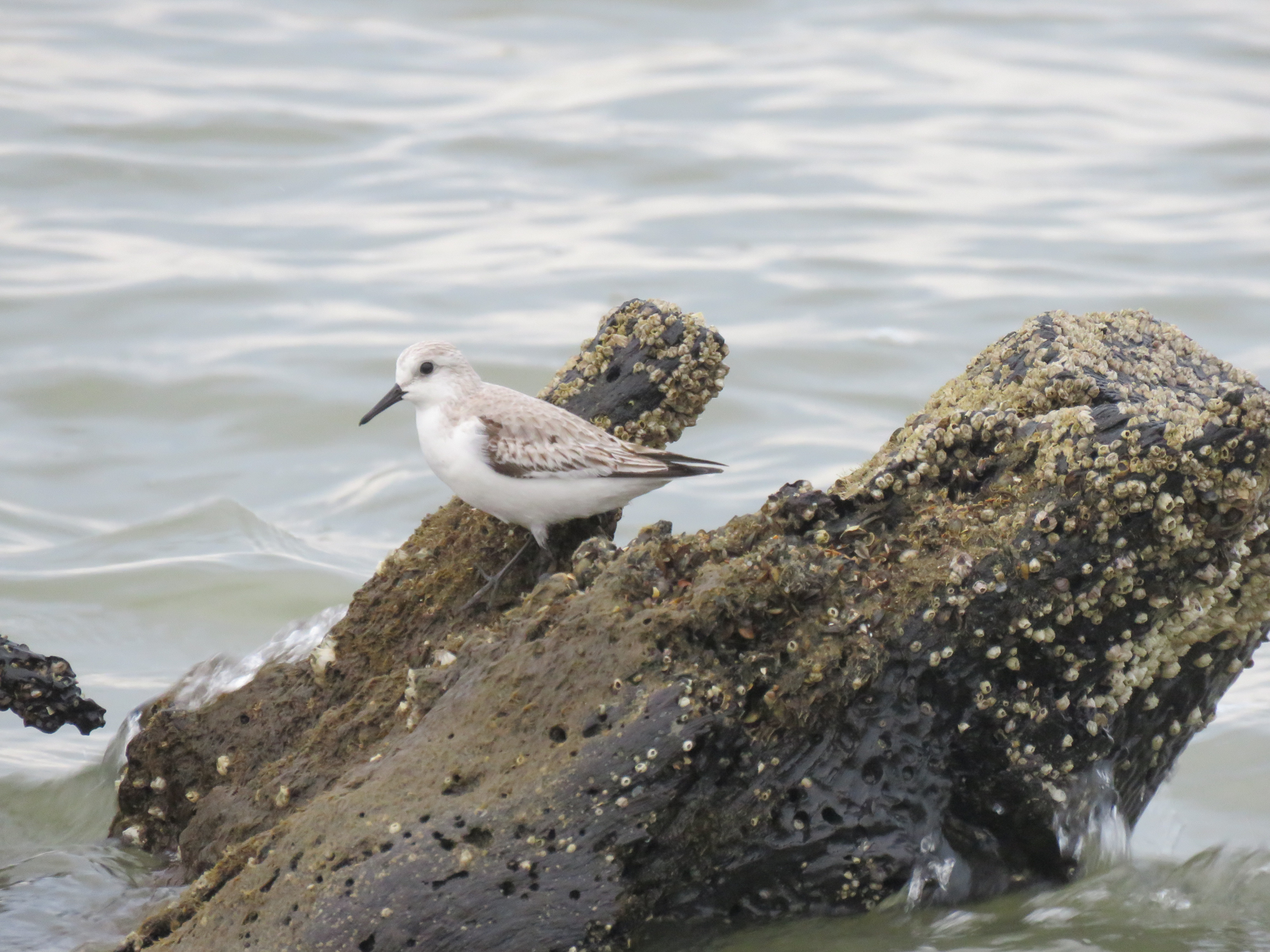 Sanderlings are the tiny birds that seem to race the waves