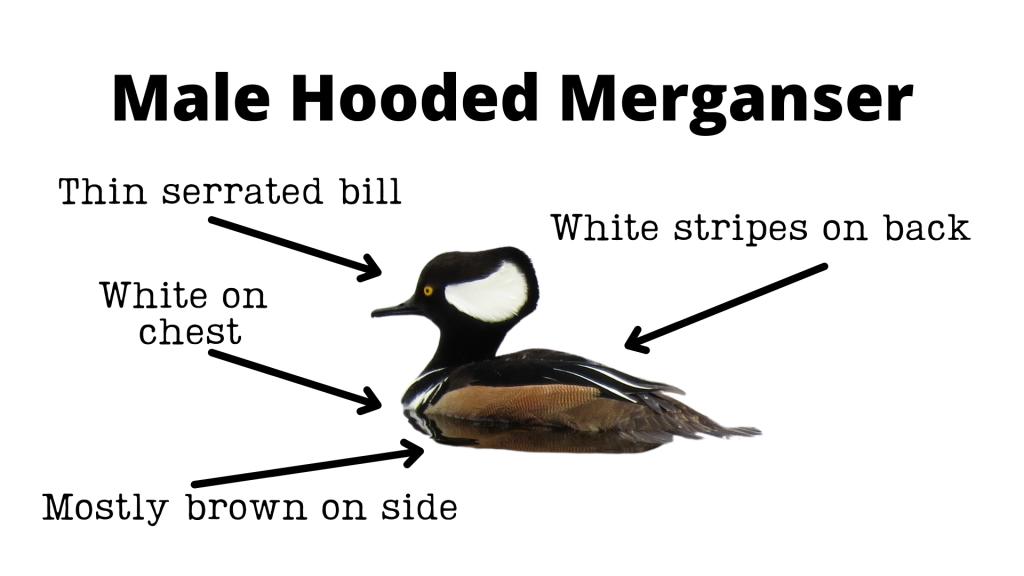 Male Hooded Merganser