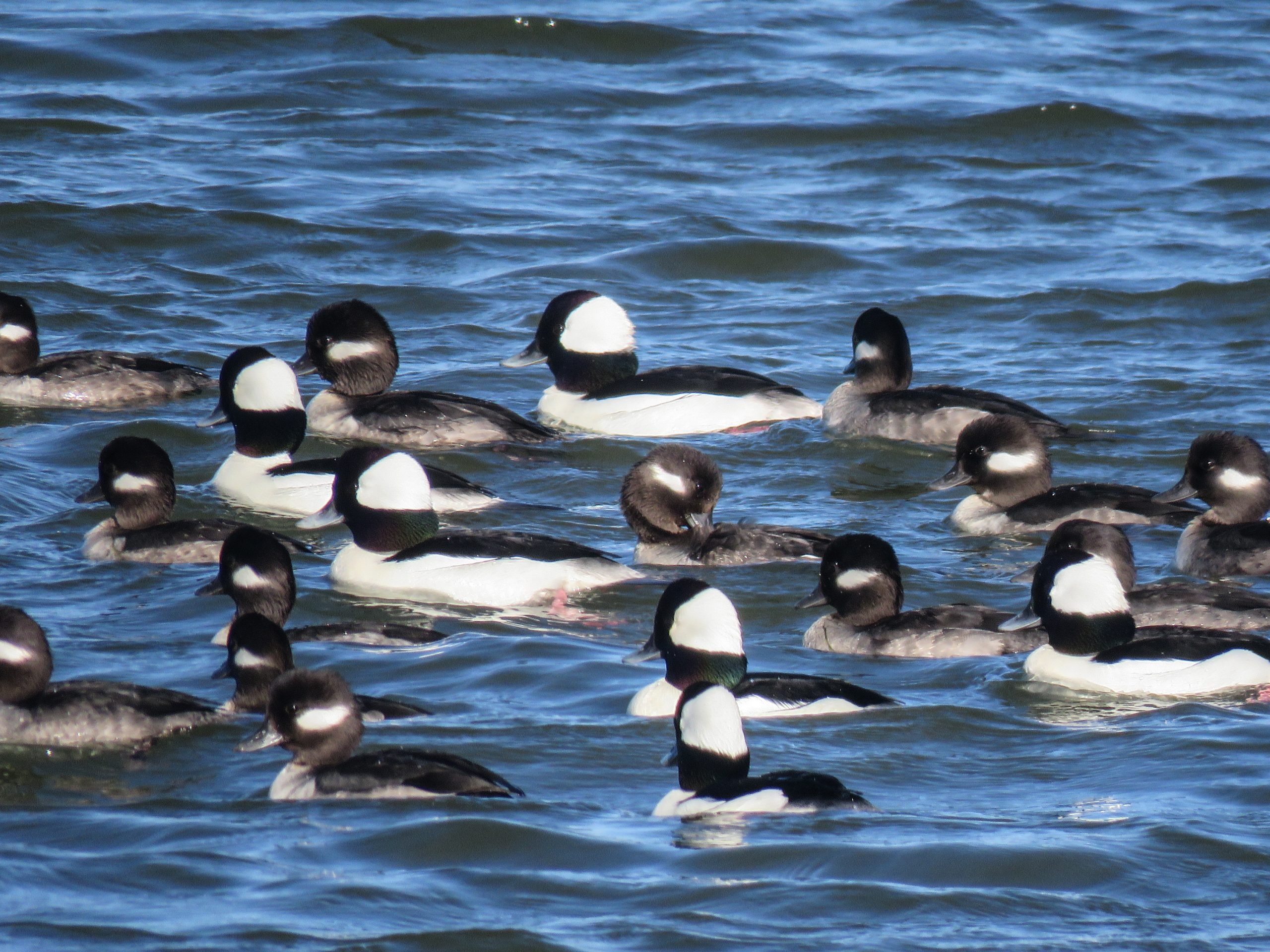 Bufflehead are winter residents of the Lowcountry
