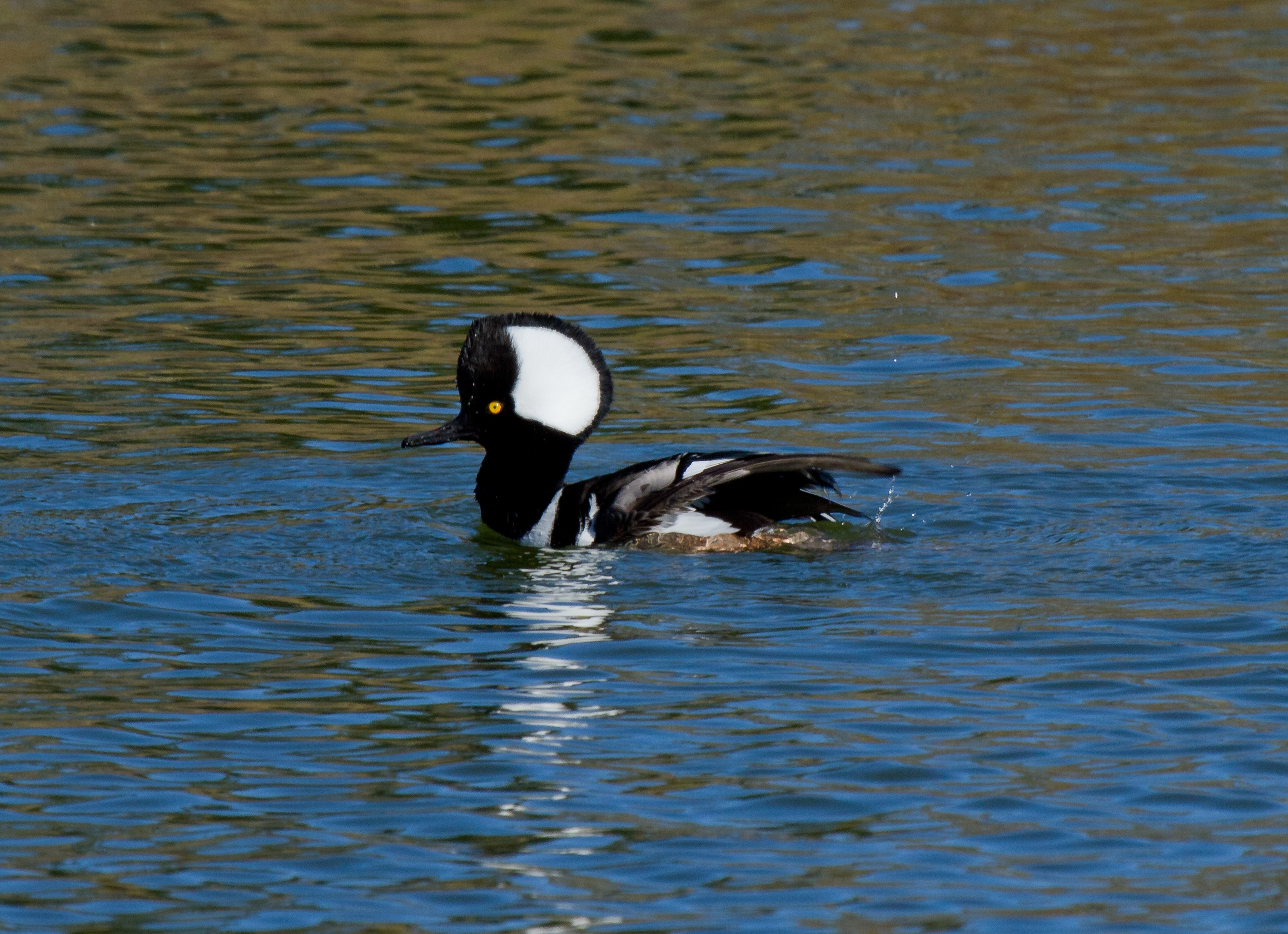Hooded Mergansers have a white crest that can be lowered for diving and raised for courting!