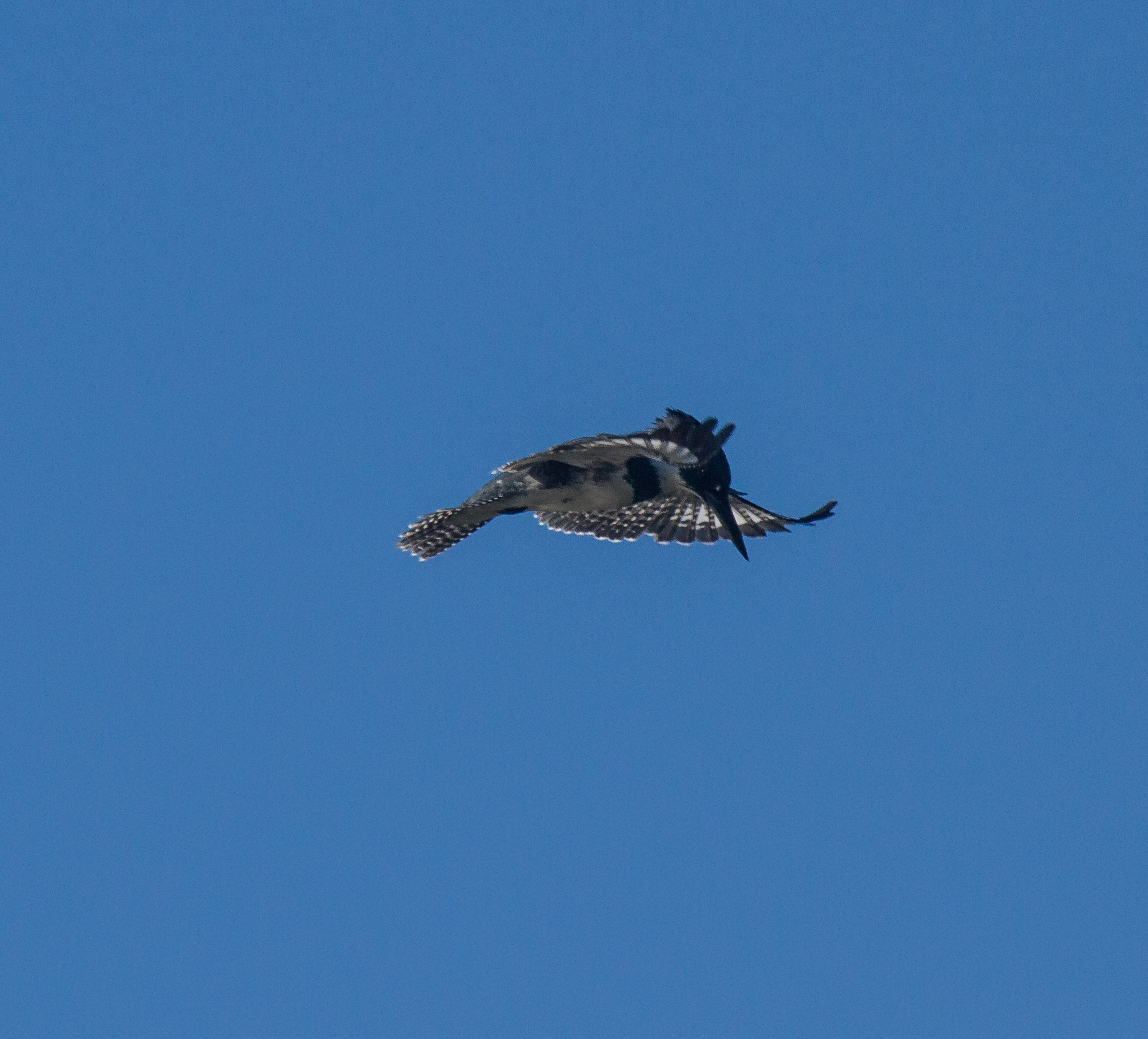 Belted Kingfishers can Hover in Midair