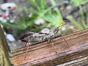 These Assassin Bugs have Wheels on their Backs.
