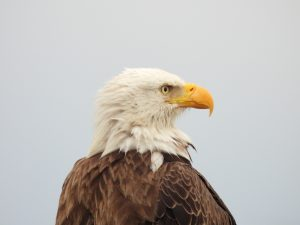 Bald Eagle Updates: Two Eaglets hatch starting February 2