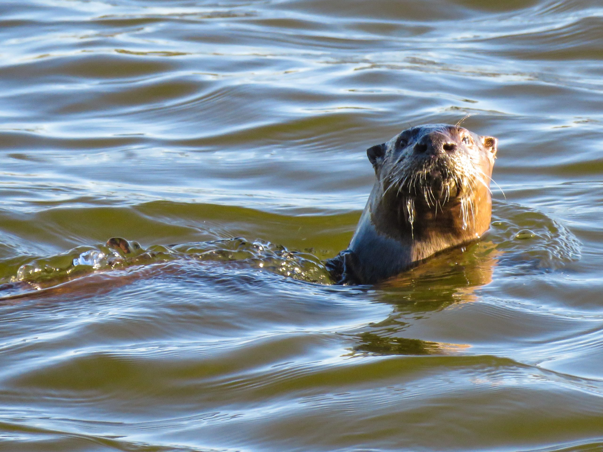 River Otters are such fun to watch!