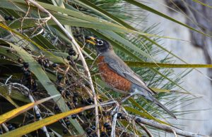 Read more about the article Robins are everywhere right now, singing and feeding and courting