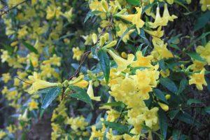 Carolina Jessamine, the state flower of South Carolina, is poisonous!