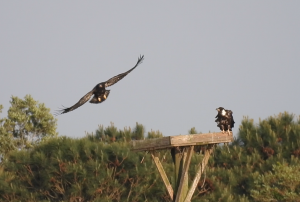 Eagle Nest Updates 9 and 10: The Eaglets Can Fly!