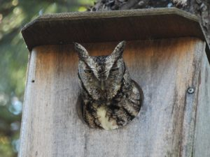 Invite Tiny Screech Owls to your Backyard with a Nest Box