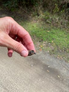 Keep an Eye out for Tiny Turtles Emerging in Spring