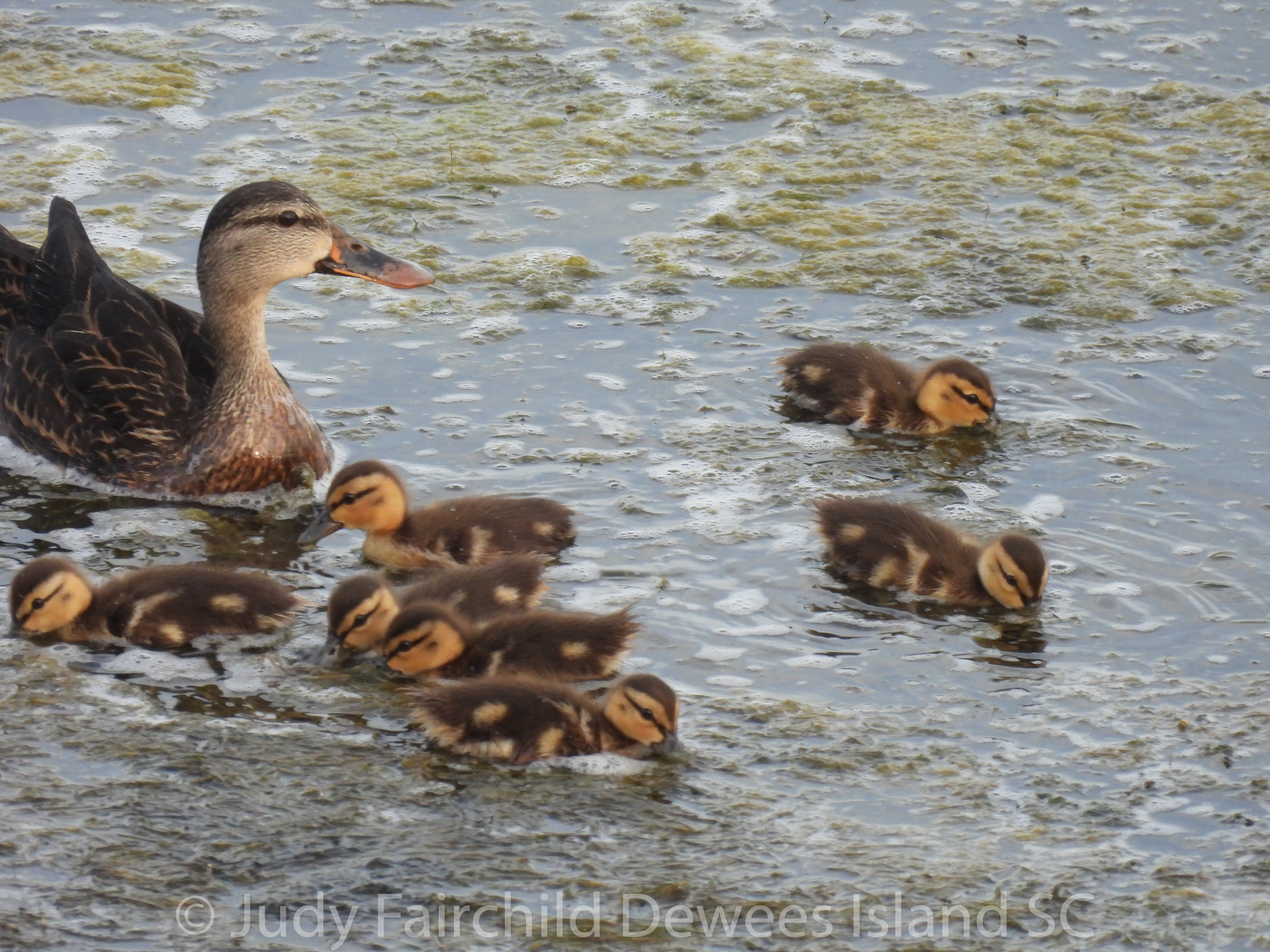 Read more about the article Mottled Ducklings Look Like Mallards, but Aren't!