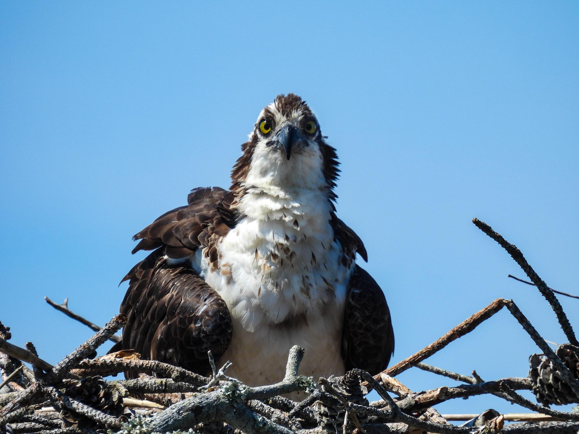 Ospreys hatch 3 chicks beginning on Mother's Day!