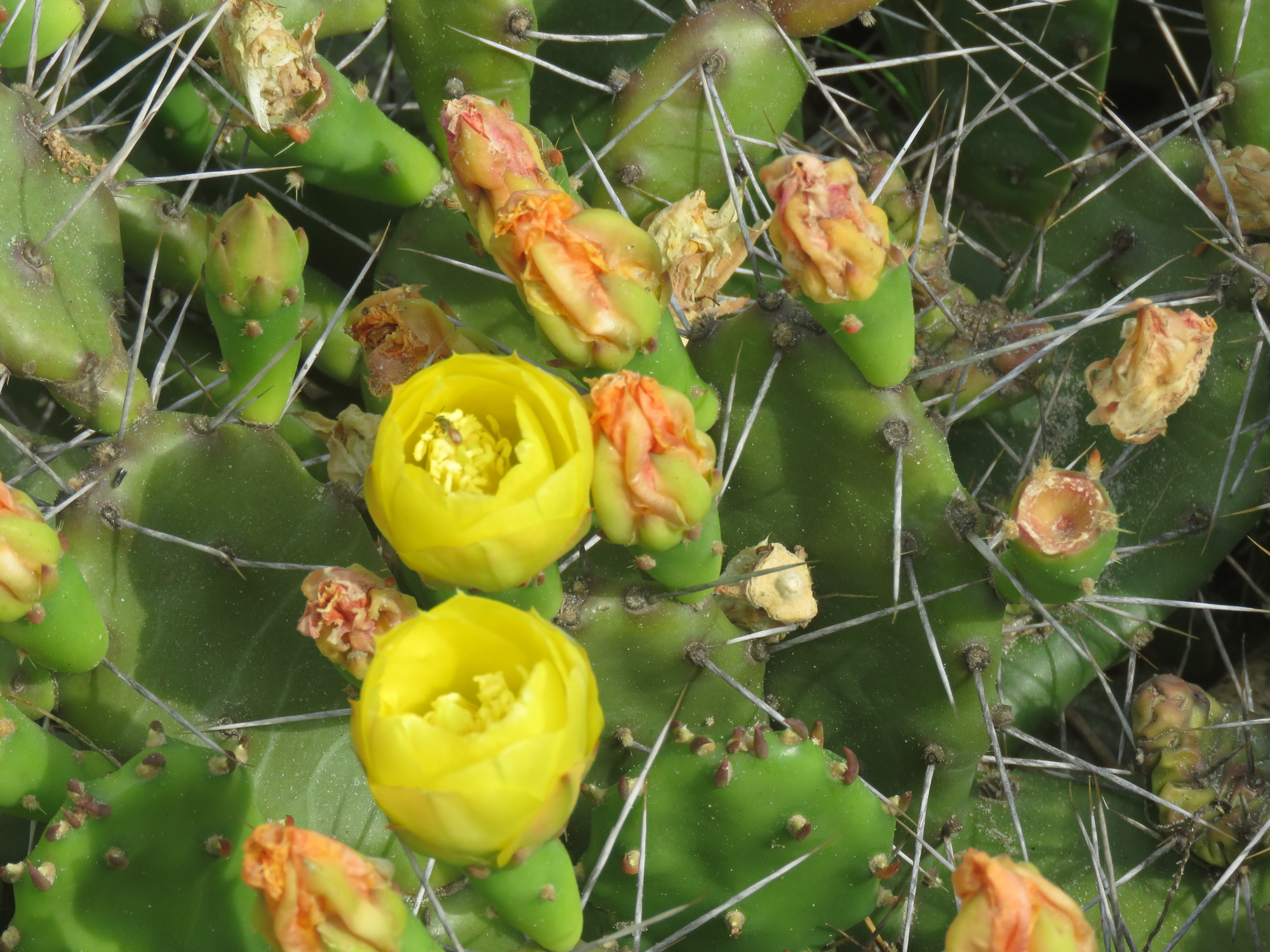 Prickly Pear Cactus boasts Abundant Pollinators and Sharp Spines!