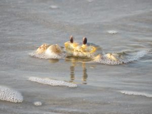 Read more about the article Ghost Crabs have Incredible Camouflage and Built in Periscopes!