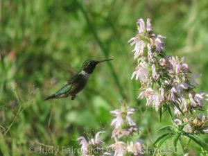 Read more about the article Ruby Throated Hummingbirds Can Be Enticed to your Backyard
