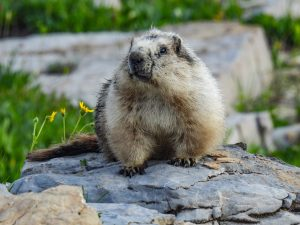 Read more about the article Hoary Marmots are Enormous Members of the Squirrel Family