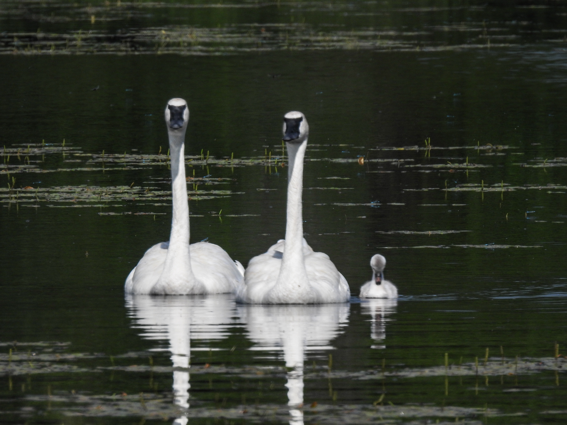 Read more about the article The Trumpet of the Swan: Trumpeter Swans in the Wild