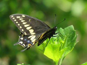 Read more about the article Black Swallowtail Butterflies are Common Throughout the US
