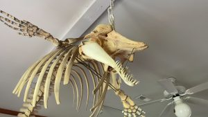 Read more about the article What can we learn from the skeleton of a Pygmy Sperm Whale?
