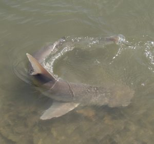 Read more about the article Bonnethead Sharks are the Smallest Member of the Hammerhead family